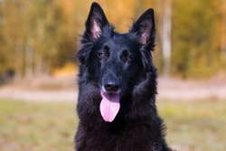 Autumn portrait of black groenendael dog with orange background. Working agility belgian shepherd groenendael portrait. Beautiful young, smiling and happy belgian sheepdog with autumn yellow leaves