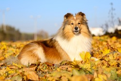 Autumn portrait of cute and smiling shetland sheepdogs in yellow leafs. Nice and beautiful shelties outdoors on sunny day with yellow background. Little sable and white lassies dog, small collie