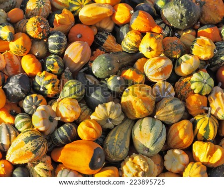 Autumn pumpkin holiday - Halloween. Gorgeous mature green, striped and orange pumpkins spread out on the grass. The sun shines all the warm light