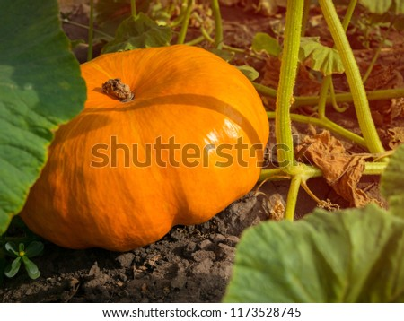 Autumn pumpkins in a garden. Pumpkin in rural scene. Fresh, ripe, pumpkins growing in field. Orange pumpkins at outdoor farmer market.