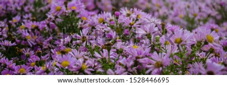 Autumn purple flowers. Tripolium pannonicum, called sea aster or seashore aster and often known by the synonyms Aster tripolium or Aster pannonicus. #1528446695