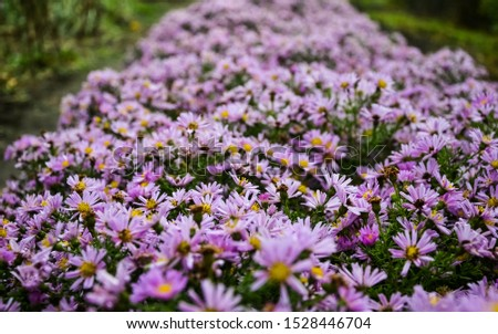 Autumn purple flowers. Tripolium pannonicum, called sea aster or seashore aster and often known by the synonyms Aster tripolium or Aster pannonicus. #1528446704