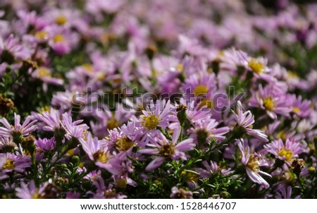 Autumn purple flowers. Tripolium pannonicum, called sea aster or seashore aster and often known by the synonyms Aster tripolium or Aster pannonicus. #1528446707