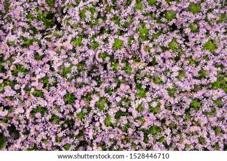 Autumn purple flowers. Tripolium pannonicum, called sea aster or seashore aster and often known by the synonyms Aster tripolium or Aster pannonicus. #1528446710