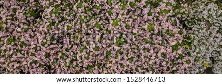Autumn purple flowers. Tripolium pannonicum, called sea aster or seashore aster and often known by the synonyms Aster tripolium or Aster pannonicus. #1528446713