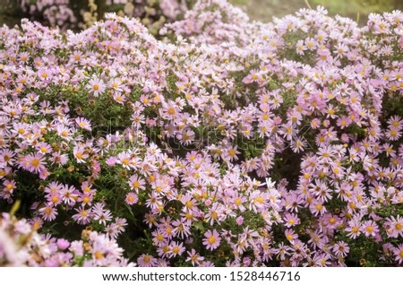 Autumn purple flowers. Tripolium pannonicum, called sea aster or seashore aster and often known by the synonyms Aster tripolium or Aster pannonicus. #1528446716