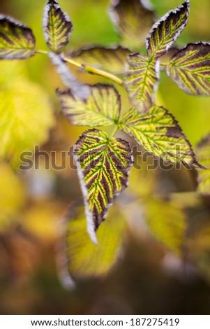 Autumn raspberry bush leaves selective focus