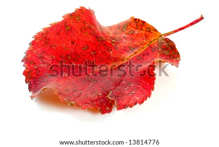 autumn red apple leaf isolated on white