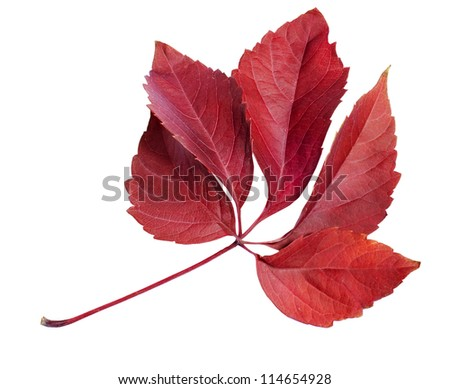 Autumn red leaf  isolated on white background