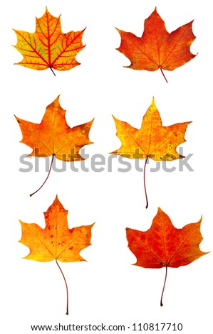 Autumn red maple leaves collection isolated on white