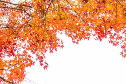 Autumn red maple leaves isolated on white background