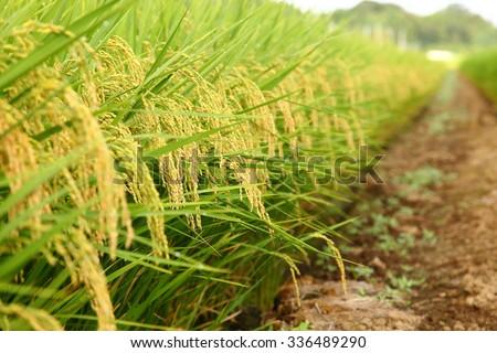 Autumn rice field ストックフォト ©