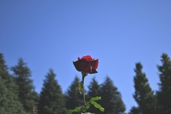 Autumn rose standing alone in the light
