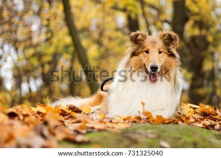 Autumn rough collie