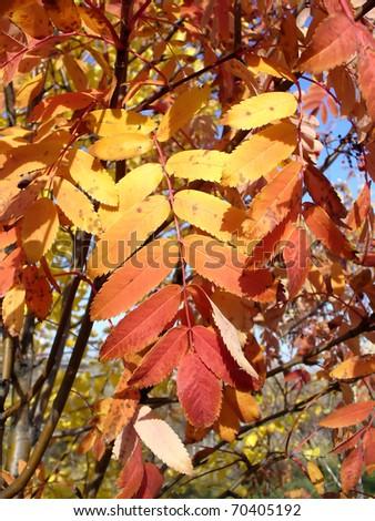 stock-photo-autumn-rowan-tree-with-color-leaves-70405192.jpg