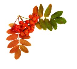 Autumn rowanberries and leaves in a corner arrangement isolated on white background