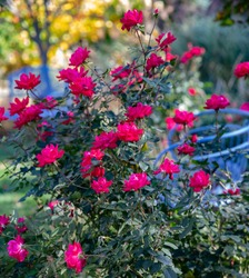 Autumn scene of Cherry knockout rose with blue benches in the background