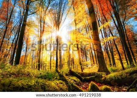 Autumn scenery in a colorful forest, with the sun illuminating the gold and red leaves