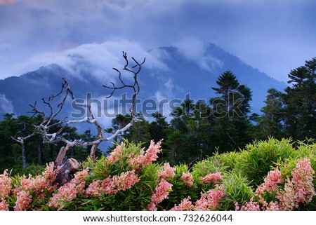 Autumn scenery of Hehuan Mountain hillside,With Arrow bamboo field along the Trails of Taroko National Park,Giant Knotweed blossoms,daed wood and Mountain cloudy in misty afternoon.