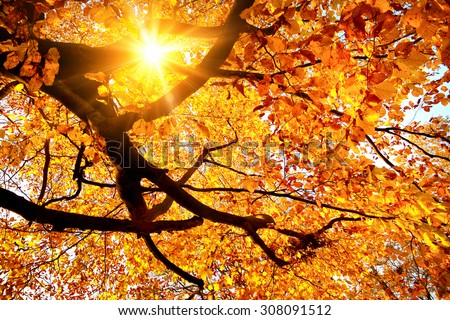 Autumn scenery with the sun warmly shining through the gold leaves of a beech tree stock photo