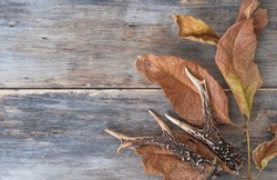 Autumn season concept. Deer antlers and dry autumn leaves on old non paint wooden background. Space for text, flat lay
