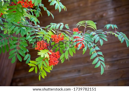 Photo of  Autumn season. Fall harvest concept. Autumn rowan berries on branch. Amazing benefits of rowan berries. Rowan berries sour but rich vitamin C. Red berries and leaves on branch close up.