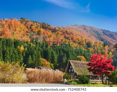 Autumn season.  Farm houses in Japan with very unique thatched roof under the blue sky.  With colorful autumn leaves, trees in the background #752408743