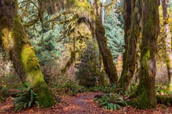 Autumn season in Hoh Rainforest, Olympic National Park, WA, USA. Beautiful unusual natural landscapes