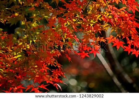 Autumn season leaf in Japan #1243829002