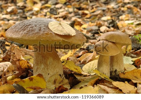 Autumn still: three Ceps growing in the forest