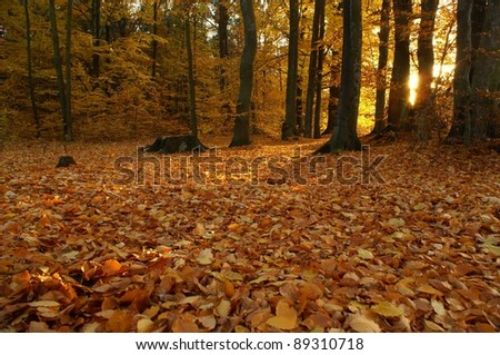 Autumn sunset in old beech forest.  Poland.