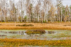 Autumn Swamp Landscape. Small Lake with Swamp Islands. Yelnya National Park, Belarus