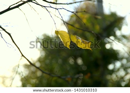 Autumn theme. A branch with two yellow leaves on a sunny day against the background of the sky and a green tree. Background, horizontal, cropped shot, close-up, free space. Concept seasons.