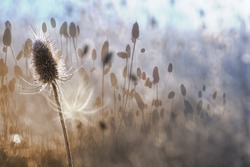 autumn thistle in a white contour of dawn light, with a multi layered effect, through different focus length photos, with a white shadow and gradual color changes from sepia to frosty blue.