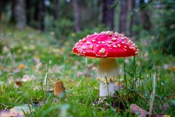 Autumn, time for mushrooms like this fly agaric with its red hood and white dots and the beautiful orange colors in the woods, picture taken in the National park Dwingeloo, the Netherlands