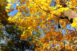 Autumn time golden yellow leaves on tree blue sky bottom up view fresh air