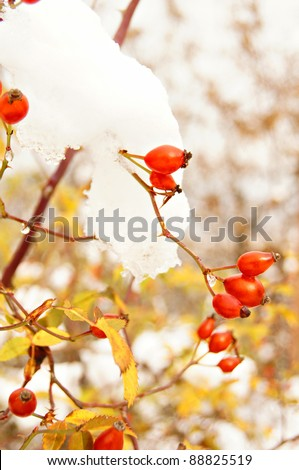 Autumn time: red wild rose hips under the snow