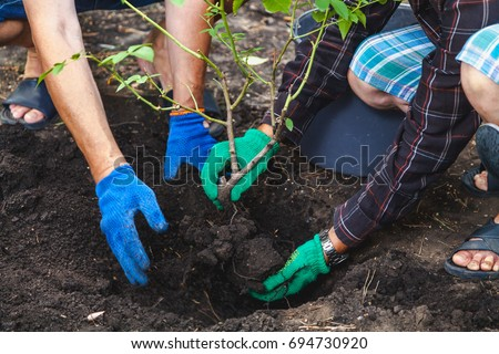 Autumn transplanting roses. Two people in work gloves put in humus mature shrub roses
