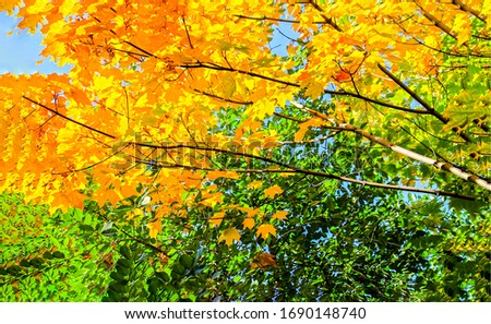 Autumn tree branch leaves view. Golden autumn tree tops. Golden autumn tree