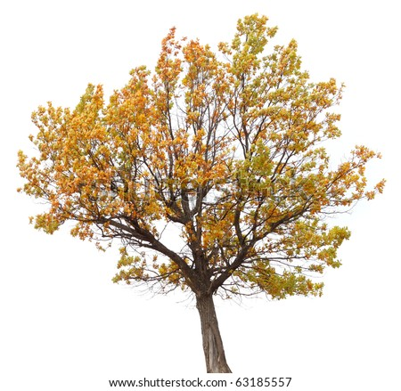 autumn tree isolated on white background.