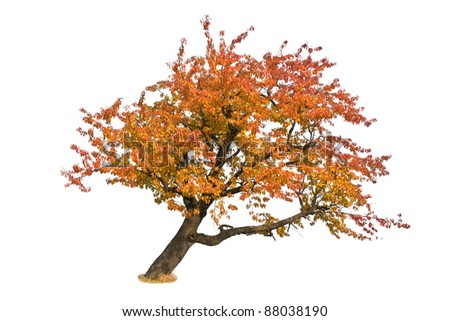 autumn tree isolation on a white background
