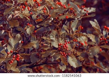 autumn tree leafs with red berries on it, detail photo, autumn tree
