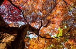 Autumn tree top view from below. Autumn tree leaves. Autumn tree top. Autumn foliage