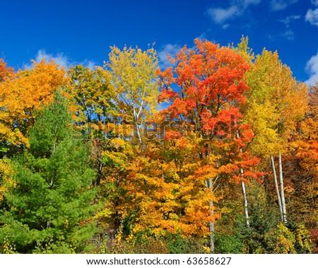 Autumn trees against clear blue sky