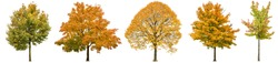Autumn trees isolated on white background. Oak, maple, linden. Yellow red green leaves