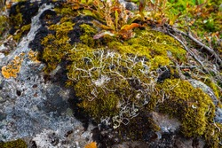 autumn tundra. lichens and colorful moss grow on the stone. Russia, Kamchatka