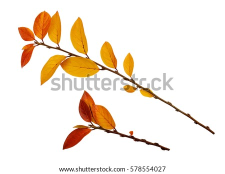Autumn twigs with yellow and red leaves isolated on white #578554027