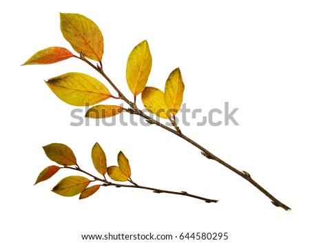 autumn twigs with yellow leaves ...