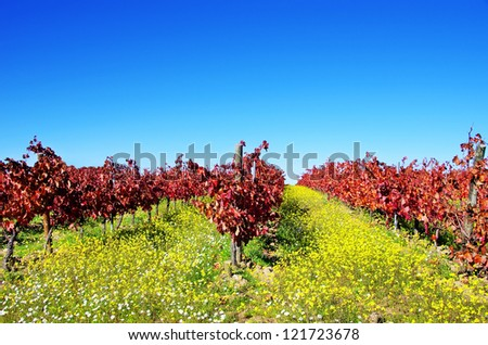 Autumn vineyard at Portugal, alentejo region