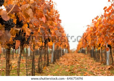 Autumn vineyard with ripe grapes and falling leaves